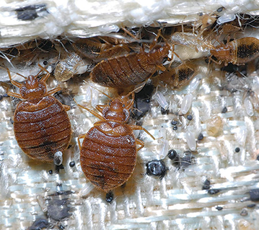 Bed Bug Invade Your Home