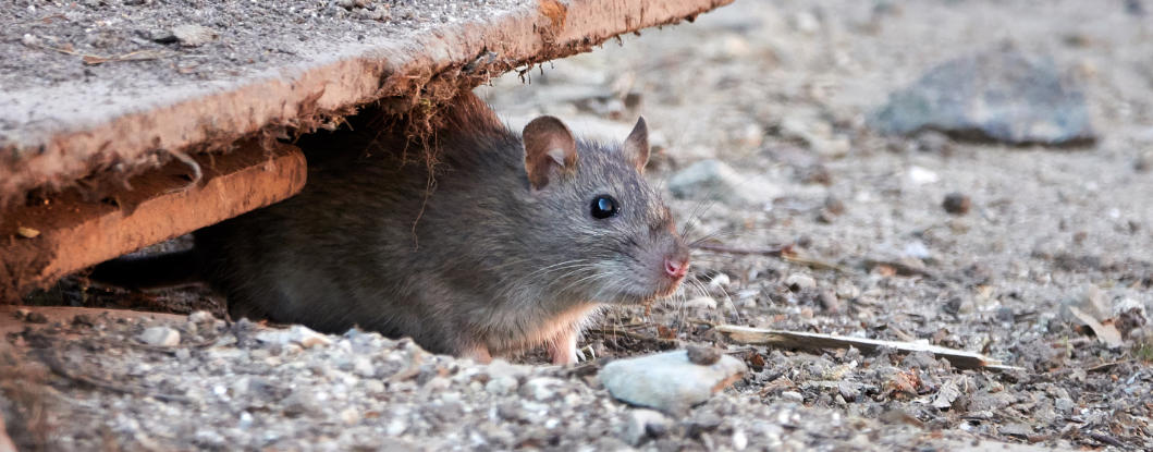 rodent-removal-and-prevention