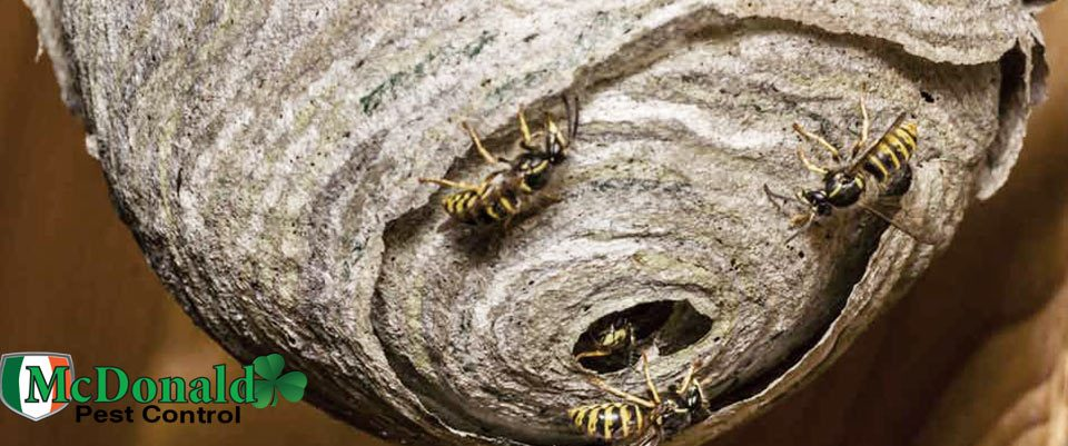 how-to-deal-with-wasps-nests