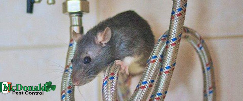 rat-infestation-in-home